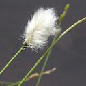 Tussock cottongrass
