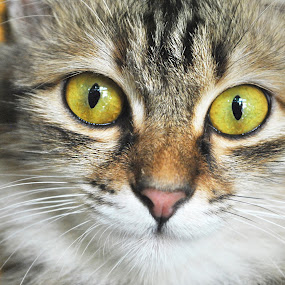 Soul Eater by Anis Ghazalli - Animals - Cats Portraits ( cat, eyes )