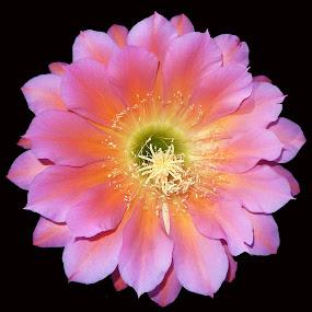 Flying Saucer by Dawn Hoehn Hagler - Flowers Single Flower ( pink flower, flying saucer, tohono chul park, pink, cactus flower, garden, flower, cactus,  )