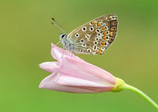 Photo: Azuré de la Bugrane, Hauhechel-Bläuling, Dos Puntos  http://lepidoptera-butterflies.blogspot.com/