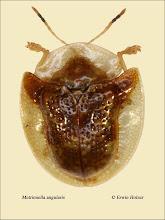 Photo: Metrionella angularis, 5,2mm, Costa Rica, Queseda (10°16´/-84°26´), leg. Gernot Kunz, det. Lech Borowiec