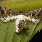 Epiplemiine moth