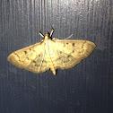 Greater Sweet Potato Webworm Moth