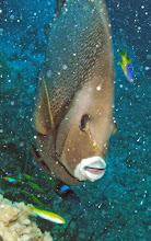 Photo: Gray Angelfish