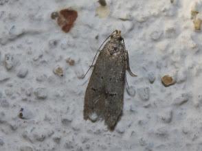 Photo: cf. Teleiodes vulgella  Lepidoptera > Gelechiidae