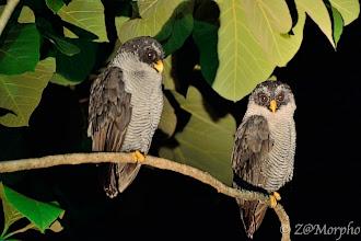 Photo: Black and White Owl @ Cerro Lodge, Tarcoles