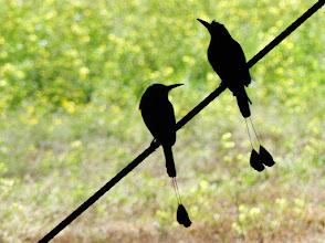 Photo: Sägeracken (Motmots) in Silhouette. Nationalvogel von Nicaragua und El Salvador.