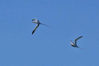 Photo: White-tailed Tropicbird