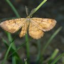 Common heath ♂