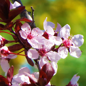 Tree Blossoms 2 by Vijay Govender - Flowers Tree Blossoms ( tree, spring, blossoms )
