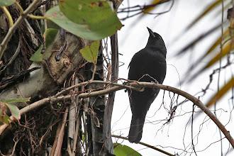 Photo: Jamaican Blackbird