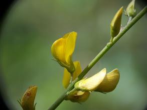 Photo: Adenocarpus complicatus
