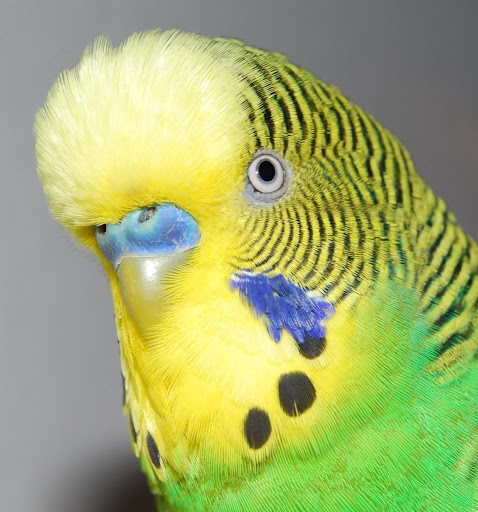 Cute Parakeets Wallpapers