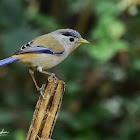 Blue-winged Minla/Siva