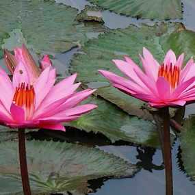 by Tonny Haryanto - Flowers Flower Gardens ( water, lotus, nature, pink, couple, beauty, earth, close up )
