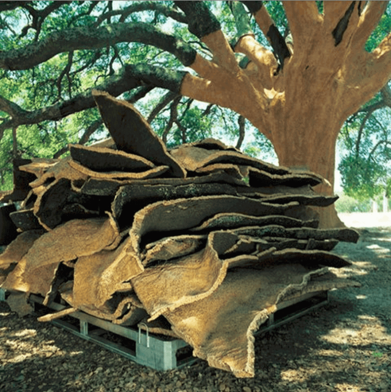 cork tree that LuCapel sources from