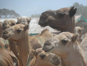 Photo: The camel market
