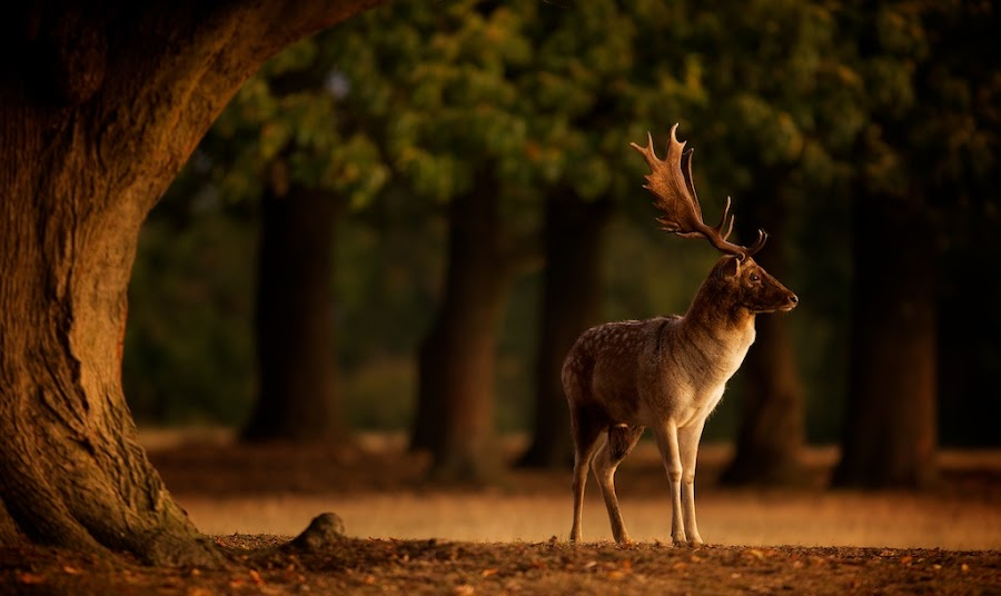 first light by Mark Bridger - Animals Other Mammals ( nature, wildlife, fallow, deer )