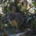 yellow-bellied weasel