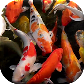 Koi Pond Live Wallpaper