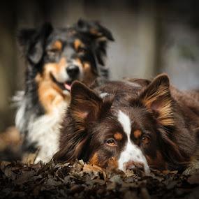 Pitu & Koda by Mathias Ahrens - Animals - Dogs Portraits ( australian shepherd )