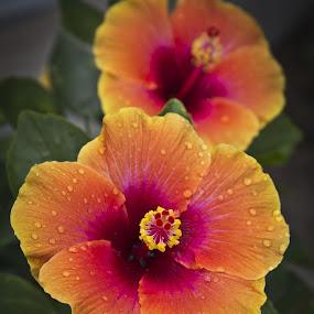 Twins by Barry Blaisdell - Flowers Flower Gardens ( pattern, orange flowers, waterdrops, flowers, closeup,  )