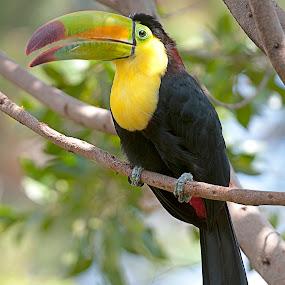 Toucan by Cristobal Garciaferro Rubio - Animals Birds ( bird, exotic bird, mexico, tropical, yellow bird, toucan )