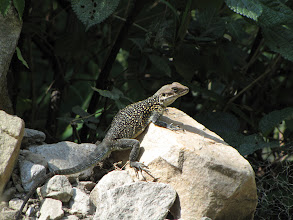 Photo: Lots of these lizards - 10-15cm long
