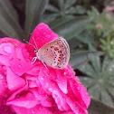 Common blue / Голубянка Икар