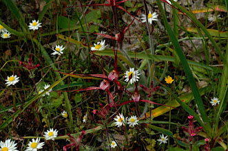 Photo: Caladenia polychroma