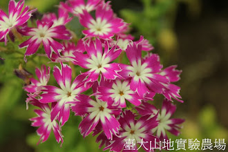 Photo: 拍攝地點: 梅峰-溫帶花卉區 拍攝植物: 星花福祿考 拍攝日期:2012_05_26_FY