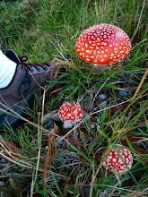 Photo: Tis the season to look down and discover mushrooms while out on adventures! I think +Daniel Sjostrom will like this one ;)  Amanita Muscaria http://en.wikipedia.org/wiki/Amanita_muscaria