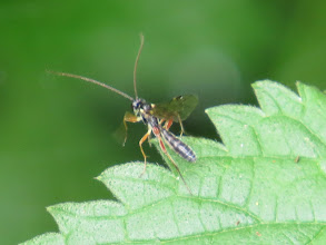 Photo: 3 Jul 13 Priorslee Lake: As it takes off it looks 'wasp-waisted' and may be an ichneumon fly. Or not! (Ed Wilson)
