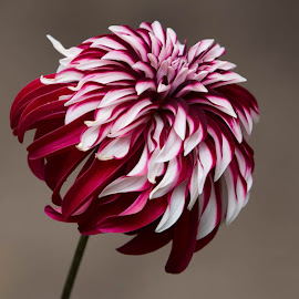 Last One Of The Day by Janet Marsh - Flowers Single Flower ( dahlias, red and white )
