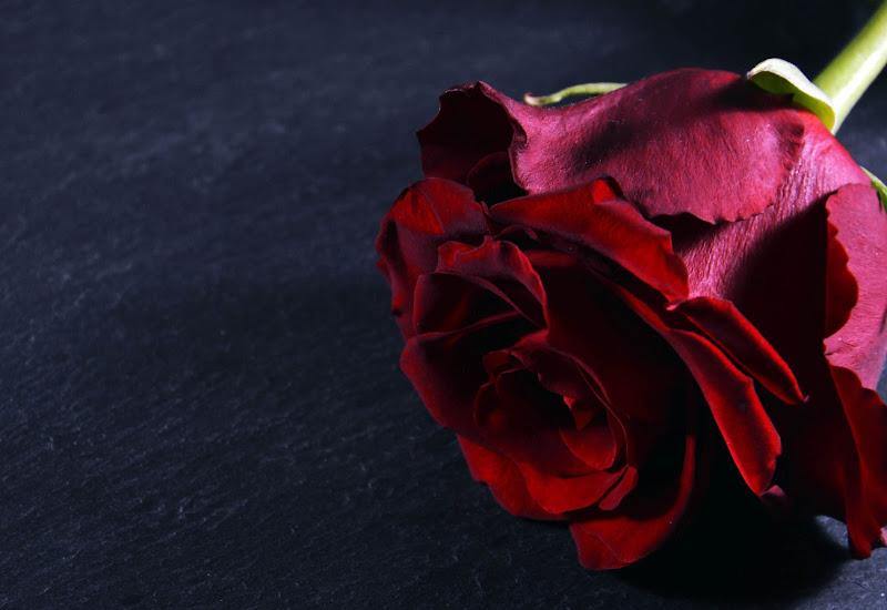 red rose di tatiana morello