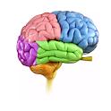 Human Brain - Neuroanatomy icon