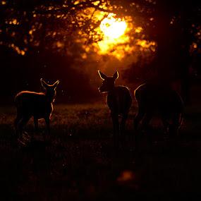 Sunset deer by Nigel Johnson - Animals Other Mammals ( orange, red deer, sunset, silhouette, trees, black )