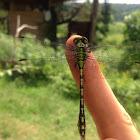 Green snaketail
