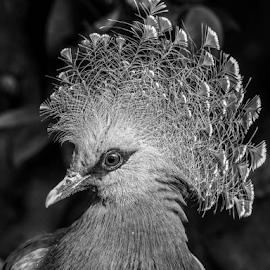 Victoria by Garry Chisholm - Black & White Animals ( victoria, pigeon, crowned, nature, bird, garry chisholm )
