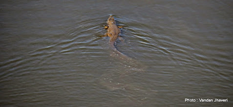 Photo: Marsh Crocodile, leaving a trail behind