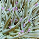 Golden anemone