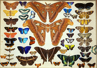 Photo: Drawer of moths and butterflies from Alfred Russel Wallace's private insect collection. This shows the collection before it was purchased by the Natural History Museum, London and transferred into different drawers. Copyright George Beccaloni