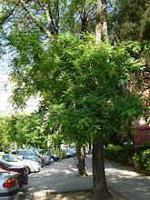 Photo: Acacia de flor blanca o falsa acacia