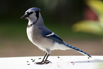Photo: Blue Jay - Standing Tall