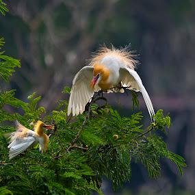 Ayo-sayang by Hendrik Cuaca - Animals Birds