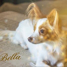 Bella by Debbie Jones - Typography Captioned Photos ( pet portrait, pet, papillon, chihuahua, dog,  )