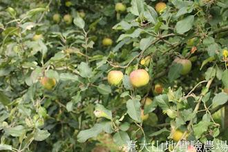 Photo: 拍攝地點: 梅峰-蘋果園 拍攝植物: 富士蘋果 拍攝日期:2012_09_27_FY