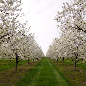 Cherry Orchard by Caitlin Scroggins - Landscapes Prairies, Meadows & Fields ( canon, tokina 11-16 dx ii, orchard, bloom, northern michigan, canon 7d, cherry orchard, cherry, michigan, 7d, tokina 11-16, trees, flowers, tokina )