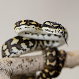 Nippy by Peter Driessel - Animals Reptiles