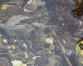 Photo: hermit crab, snails, and so much tiny life in this tiny tide pool. so amazing. never a dull moment here.